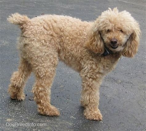 poodle lifespan in human years miniature poodle breed information and pictures