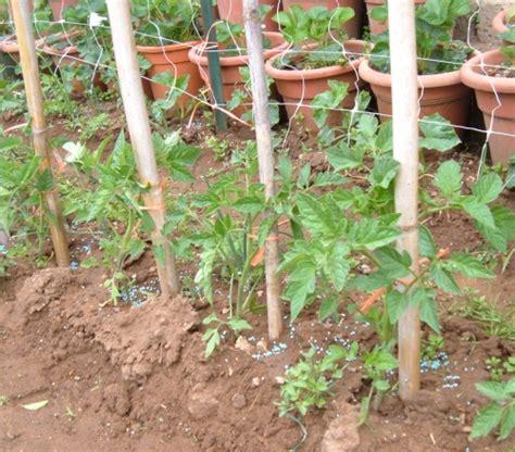 come potare i pomodori in vaso pomodori nell orto vademecum perfetto coltivatore
