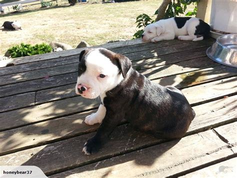 terrier puppies for sale near me 1000 ideas about pitbull puppies for sale on pitbulls for sale blue