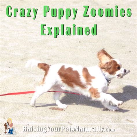 puppy jumping and biting out of puppies zoomies explained running jumping and biting