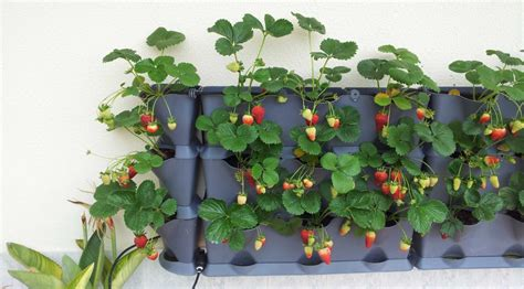 Strawberry Vertical Garden Can You Grow Strawberries Minigarden Us