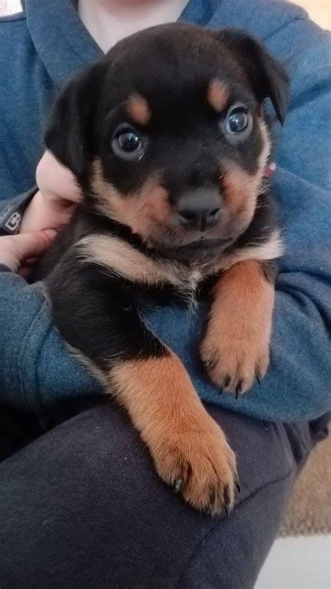 purebred rottweiler puppies purebred rottweiler puppy for sale burton upon trent staffordshire pets4homes