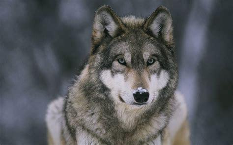 wallpaper wolf wolf wallpapers hd wallpaper cave