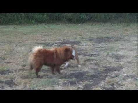 boerboel vs rottweiler boerboel vs rottweiler relacionados con boerboel vs rottweiler
