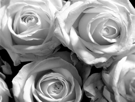 wallpaper black and white roses black and white rose wallpaper 8 high resolution wallpaper