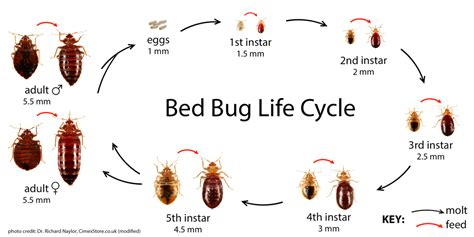 can you see bed bugs during the day bedbug id and common misidentifications bedbugs