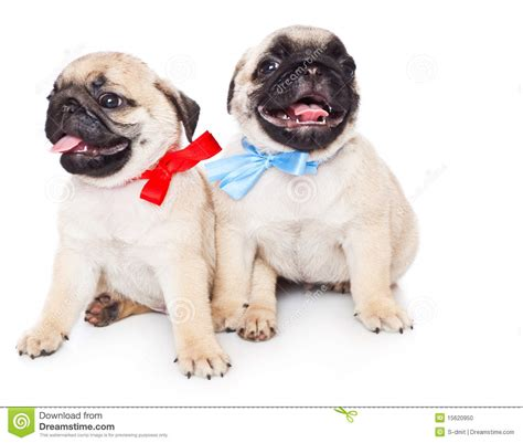 two pug puppies two puppies of pug stock photo image 15620950