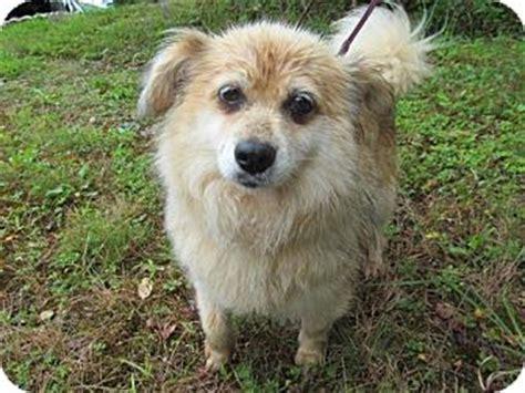 pomeranian shetland sheepdog buttercup adopted staunton va pomeranian sheltie shetland sheepdog mix