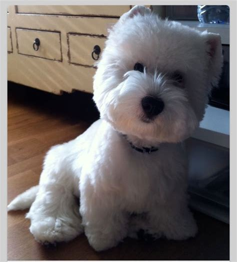 pictures of haircuts for westies dogs westie haircuts pictures haircut westie flickr photo