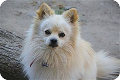pomeranian rescue los angeles boomer adopted los angeles ca pomeranian