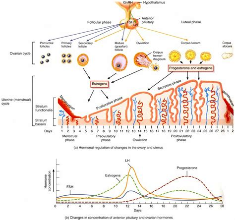 hormone cycle diagram hormonal of the ovarian cycle in humans images