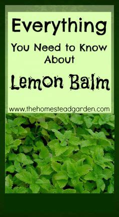 everything you know about everything you need to know about lemon balm gardening