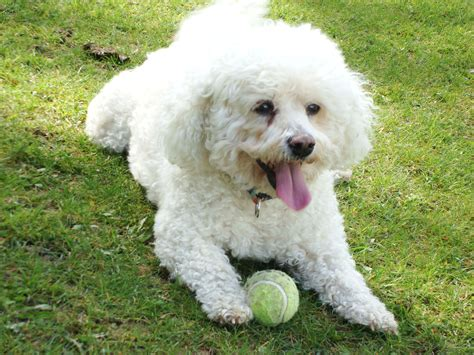 bichon breed breed bichon frise lies on the lawn with a wallpapers and images wallpapers