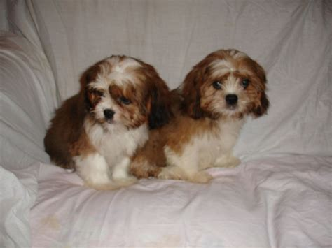 cavalier shih tzu puppies shih tzu cross cavalier king charles hyde greater manchester pets4homes