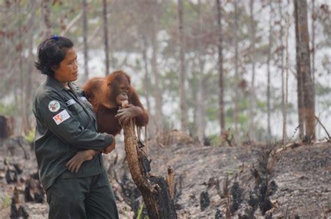 orangutans lose habitat  forest fires