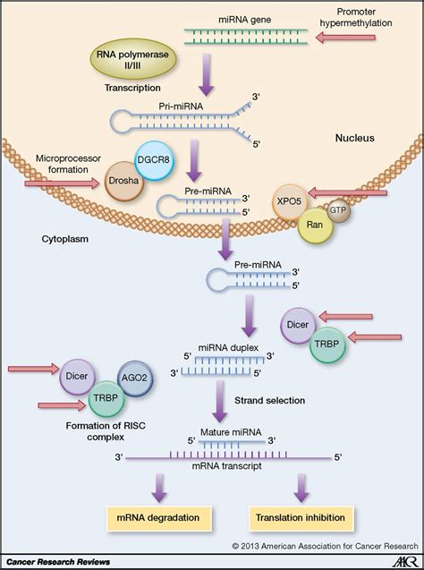 A N Mirna mirna dysregulation in breast cancer cancer research