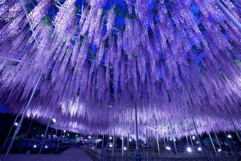 Japan Wisteria Tunnel by