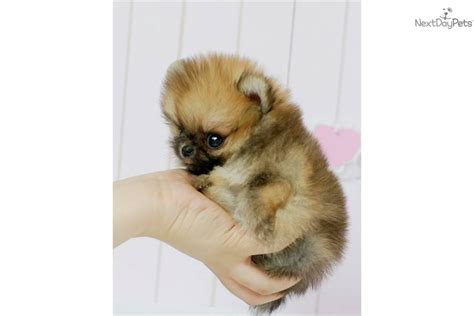 micro teacup pomeranian price pomeranian puppy for sale near los angeles california 9ea5de25 2541