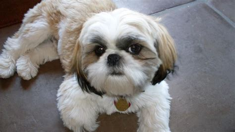 when are dogs considered adults when is a shih tzu considered fully grown reference