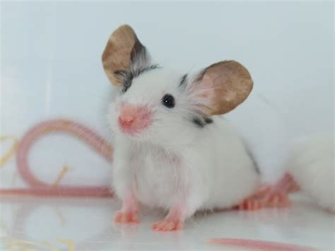 Mouse With Big Ears
