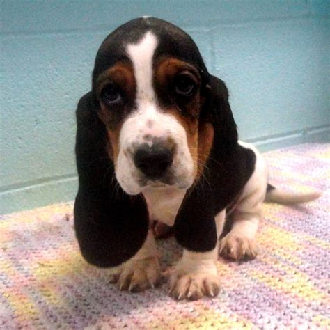 miniature basset hound puppies for sale in miniature basset hound puppies images animals miniature basset