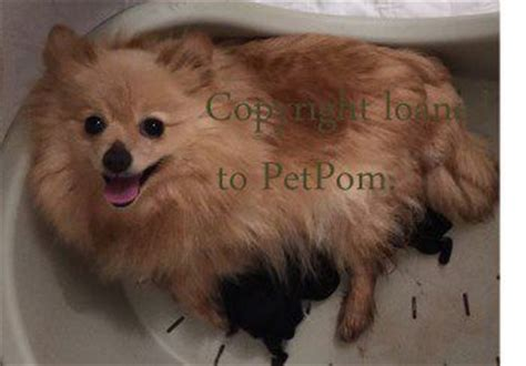 how many puppies do pomeranians in a litter pomeranian pregnancy pomeranian information center