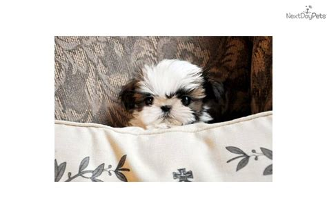 shih tzu puppies richmond virginia shih tzu for sale teacup shih tzu shih tzu breeds shihtzu for sale breeds picture
