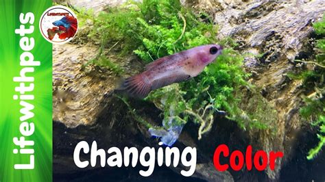 betta fish changing color betta fish fry changing color and moving tanks