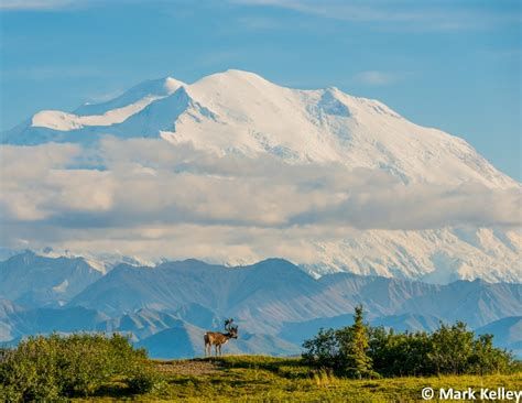 in the shadow of denali the of alaska bull caribou denali denali national park alaska image