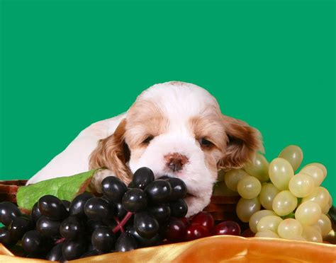can dogs grapes can dogs eat grapes and raisins safely carion