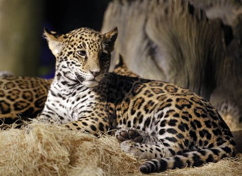 baby jaguars are named at the zoo 187 gagdaily news