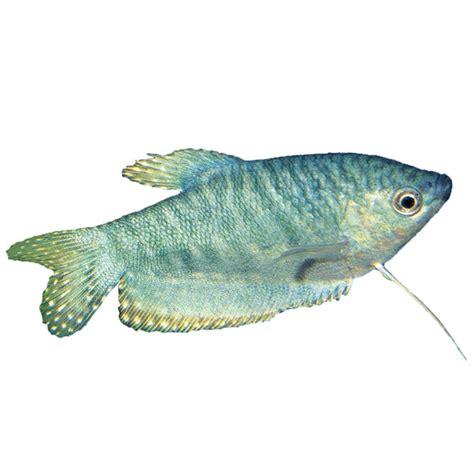 Encyclopedia Of Aquarium Pond Fish Dk Publishing Ebook E Book opaline gourami trichopodus trichopterus variety marbled