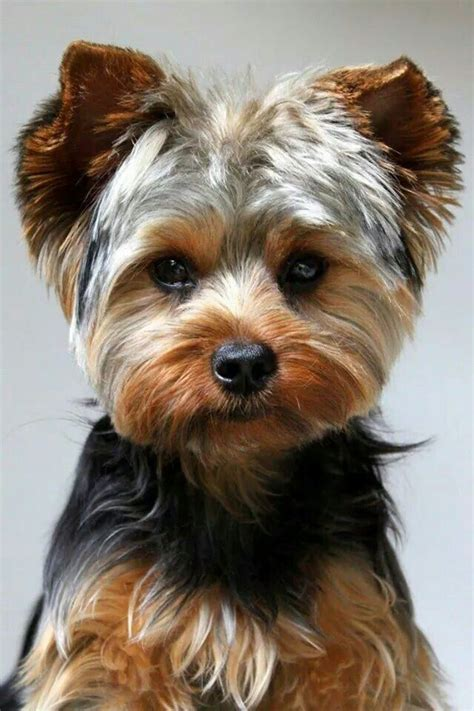 yorkie haircuts pictures yorkshire terrier as well yorkie haircuts 45 best images about chiens on pinterest chihuahuas