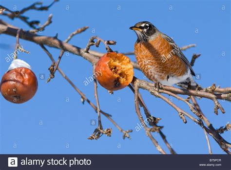 male american robin bird eating apple in tree during