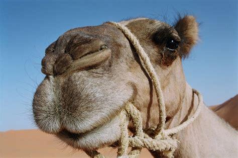 fotos reyes magos en camellos caballos y camellos dinamicas y juegos