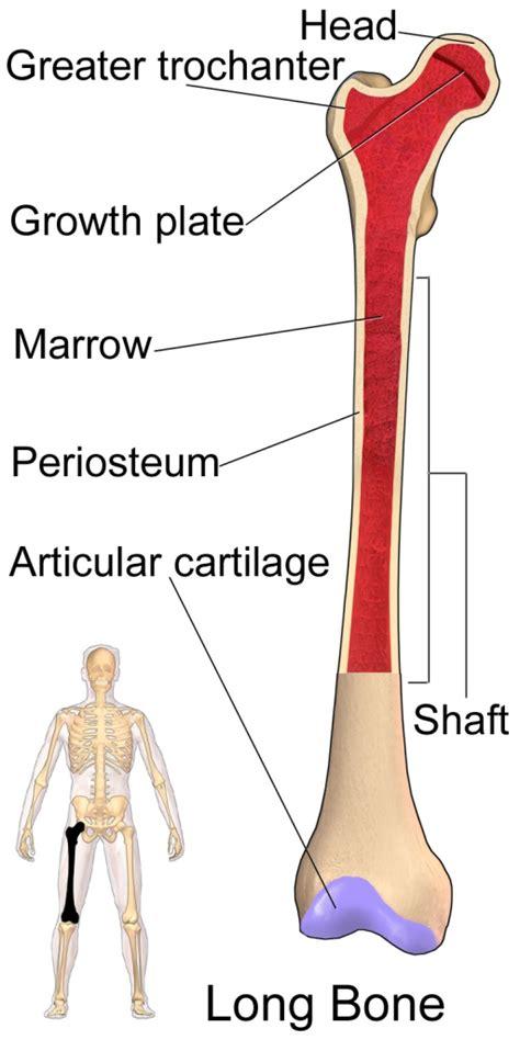 femur bone diagram femur bone anatomy bone disease