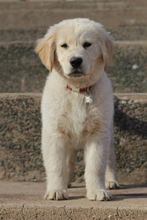 golden retriever res golden retrievers on golden retriever puppies golden puppy and charles