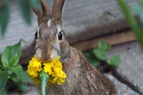 Baby Bunnies In Backyard Skippy S Vegetable Garden Rabbit Eats Marigold