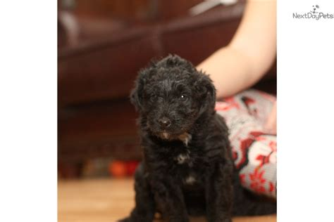 doodle name ari ari aussiedoodle puppy for sale near richmond virginia