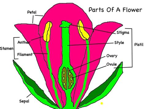 flower cross section pollinating parts life and living