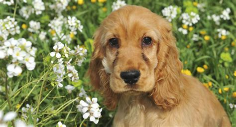 dogs with curly hair and floppy ears cocker spaniels popsugar pets
