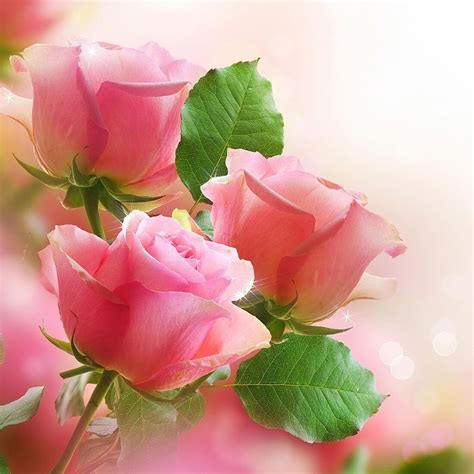 live wallpaper pink rose images pink roses impremedia net