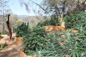Shasta County Warrant Search Illegal Grow In Shasta Lake City Anewscafe