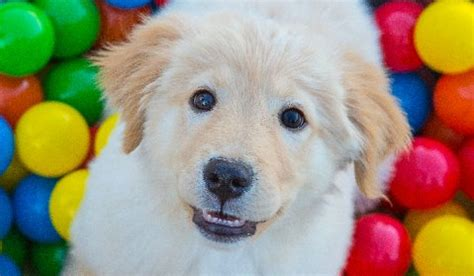Arizona Golden Retriever Connection Raiser Scottsdale Lifestyle Magazine