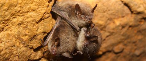 saving wisconsin s bats wisconsin dnr