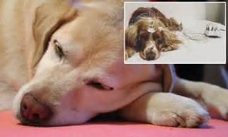 Do Dogs Shed When Stressed by Dogs Lose Sleep If They Re Stressed Just Like Humans