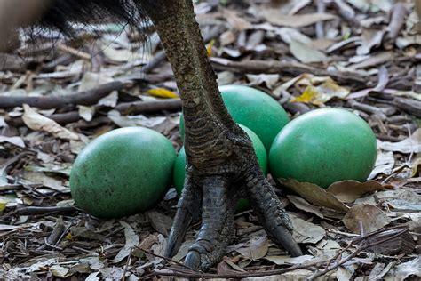 southern cassowary san diego zoo animals amp plants