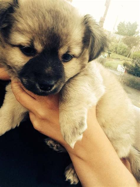 jackhuahua puppies for sale in us jackhuahua puppies for sale llanelli carmarthenshire