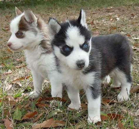 teacup husky puppies for sale teacup siberian husky puppies for sale breeds picture