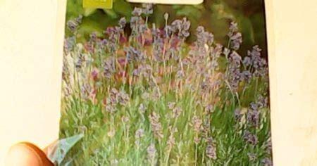 Bibit Bunga Lavender Asli jual benih bunga lavender lavandula angustifolia jual